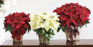 Poinsettia flowers by rickea professional event stylist floral designer clear lake league city pasadena houston texas